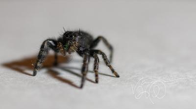 Jumping Spider 1