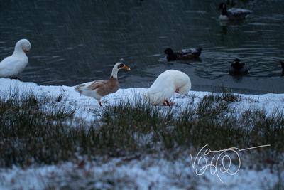 Preening Snow Duck